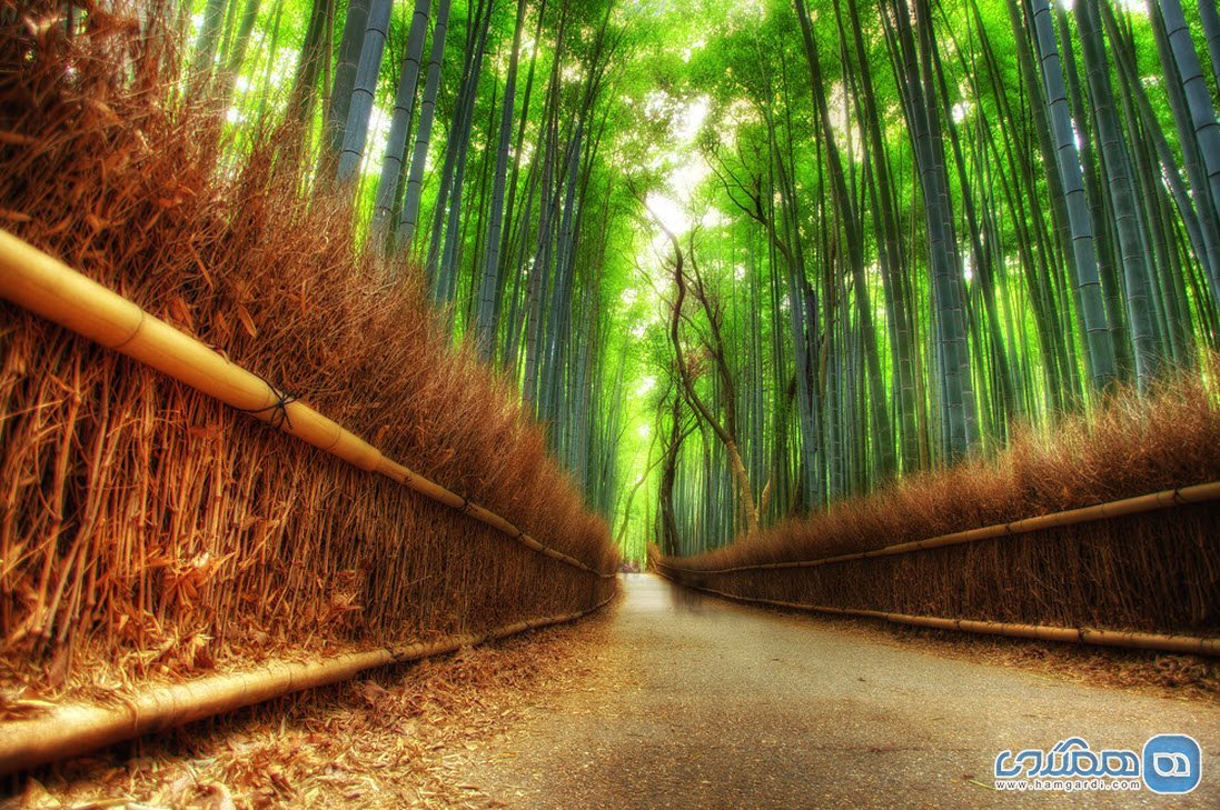 Sagano bamboo forest in Japan